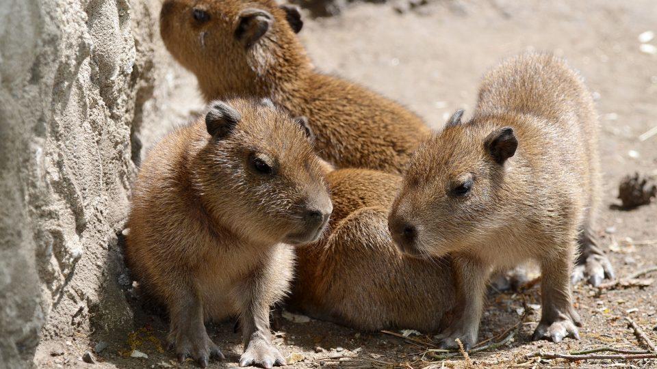 Kapybary vodní v děčínské zoo