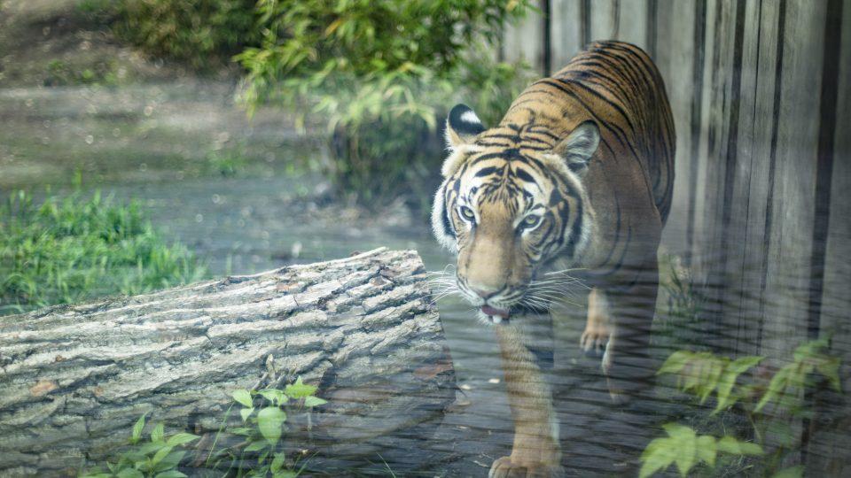 Tygr Bulan v ústecké zoo