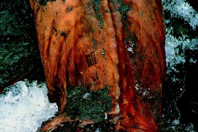 Tetování u Ötziho mumie z Alp,  staré 5300  let,  mělo patrně léčebný význam | foto: repro NLN