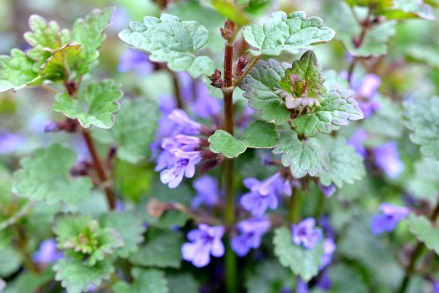 Popenec břečťanolistý plevel, ale také léčivka a zelené koření