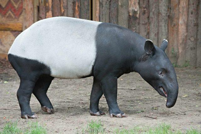 Po uvolnění restrikcí najde domov v ústecké ZOO samice tapíra čabrakového ze Singapuru  | foto: Petr Rošický