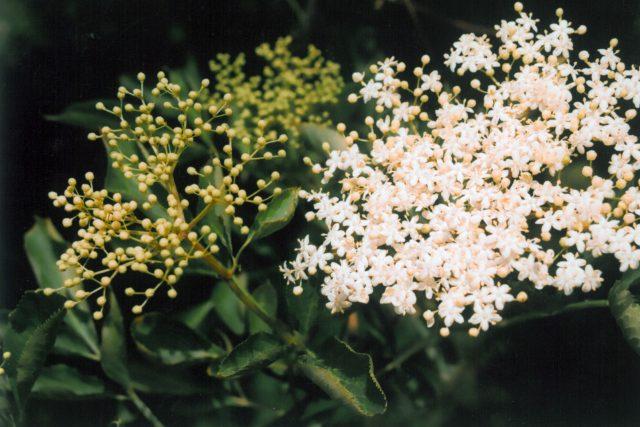 Bez černý - květ