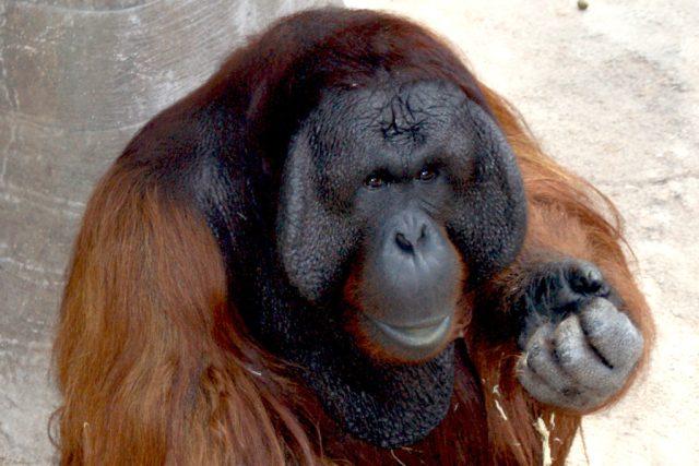 Dospělý orangutan