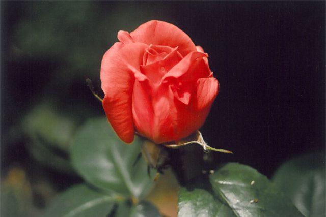 """Růže """"Super star"""" velkokvětá"""