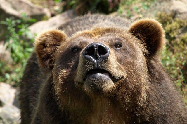 Medvěd Sigfried