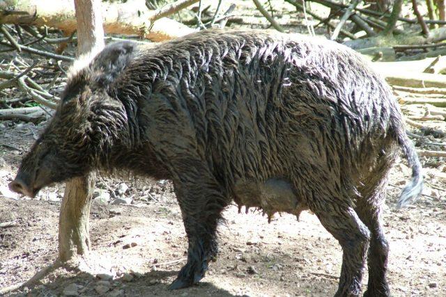 Přemnožená divoká prasata představují velký problém