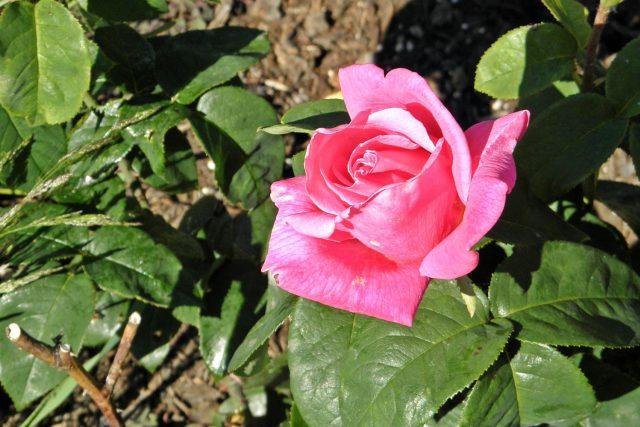 Za opravdu kvalitním parfémem většinou stojí královna květin – růže