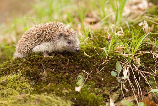Typický ježek východní se světlými boky a břichem | foto: Naše příroda