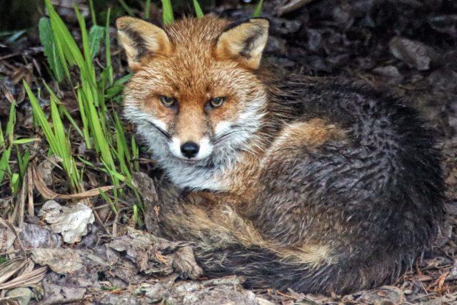 Pašování zvířat patří k nejhorším činům proti přírodě, liška (foto David Alexander Elder)