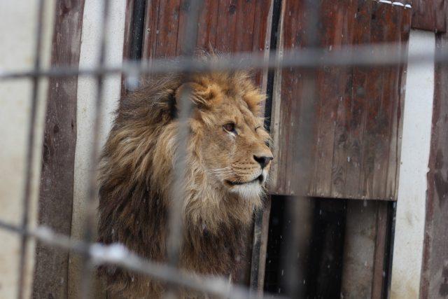 Lví samec King, Kletečná