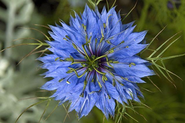 Květ černuchy seté