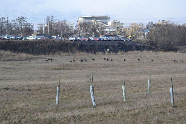 Mufloni na výsypce lomu ČSA