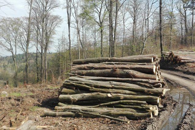 Velké množství stromů napadených lýkožroutem muselo být vykáceno