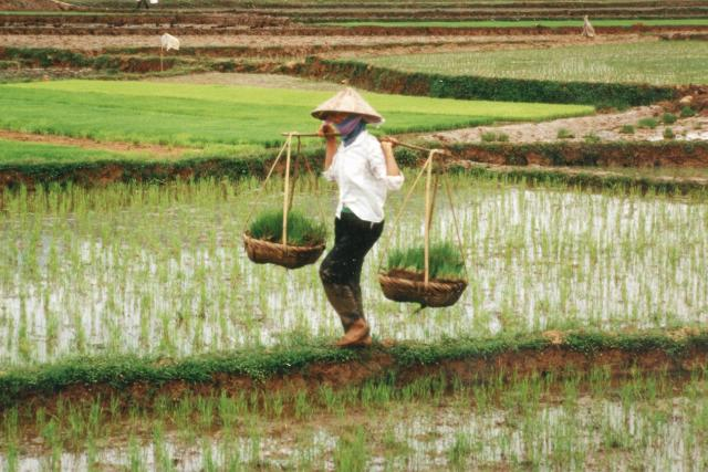 Rýžová pole ve Vietnamu | foto: Public domain,   Philippe Berry,  IFPRI