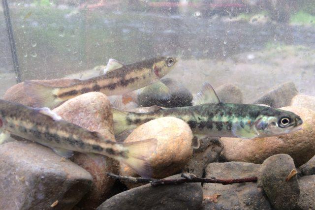 V Českém Švýcarsku vypustli v rámci programu na záchranu lososa do řeky Kamenice tisíce plůdků
