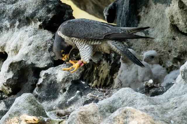 Sokoli stěhovaví v hnízdě