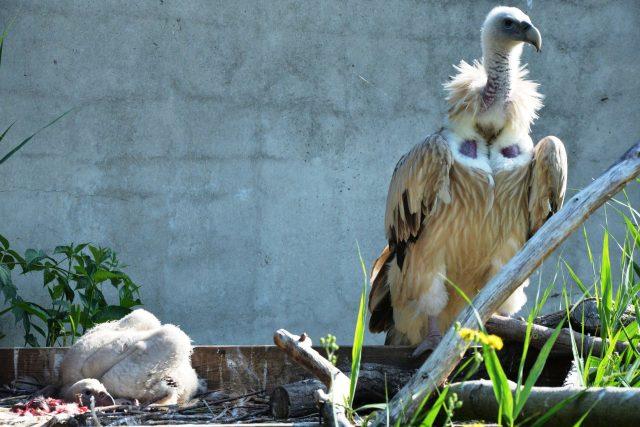 Supy himalájské chová ústecká zoo od roku 2003