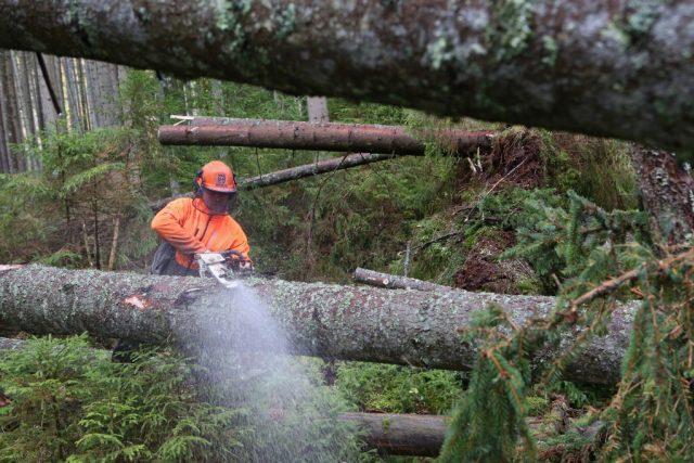 Dřevorubci na Šumavě odstraňují desítky tisíc kubíků polomového dříví po srpnové vichřici.
