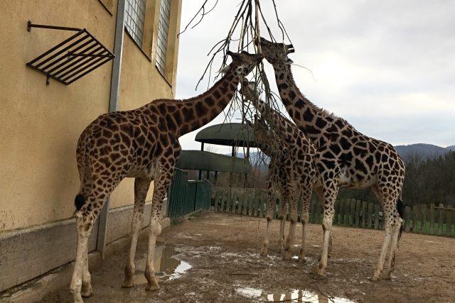 Žirafy v ústecké zoo