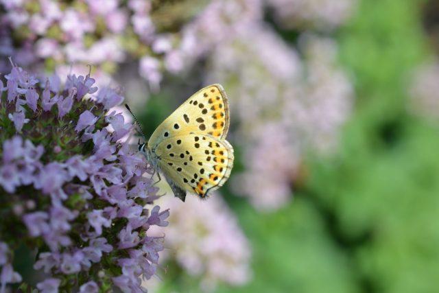 Dobromysl obecná - kvetoucí nať se sbírá před polednem