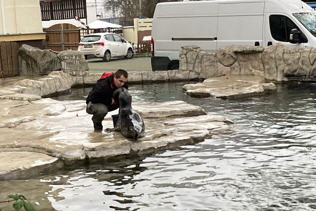 Ústecká zoo opět zakládá chovnou skupinu tuleňů. Ke Casperovi přibyly samice Ayma a Sally
