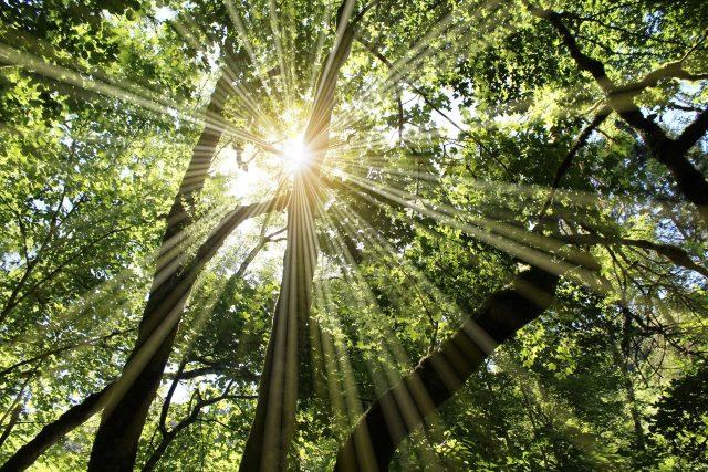Slunce v korunách stromů