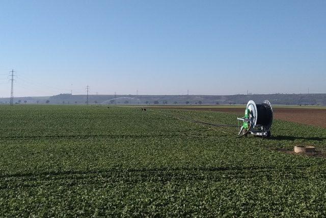 Špenátová pole u Bohušovic nad Ohří zemědělci zavlažují