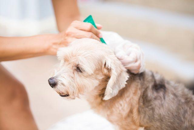 Prevence proti klíšťatům a blechám u psa (ilustrační foto)