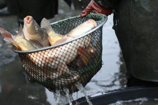 Ryby, kapři, ilustrační foto