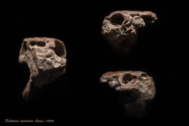 Fosilní pozůstatky raného čelistnatce Radotina tesselata z Koněprus