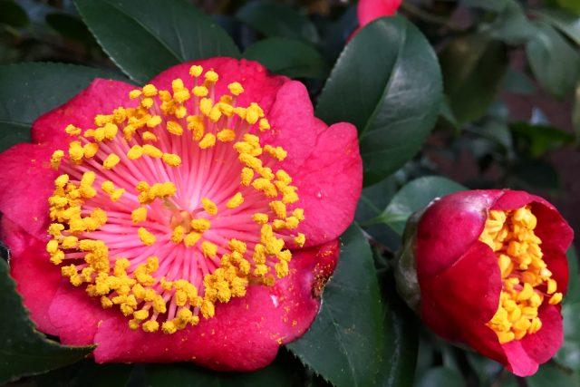 V liberecké botanické zahradě kvetou kamélie, některé jsou stovky let staré