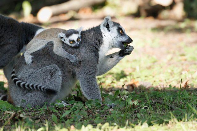 Malý lemur kata v Safari Parku Dvůr Králové