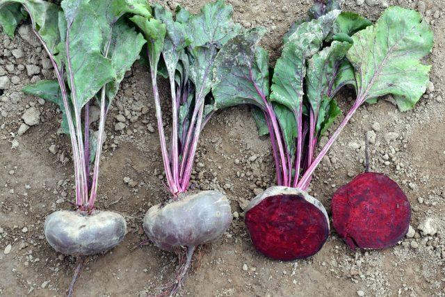 Červená řepa, odrůda Kahira