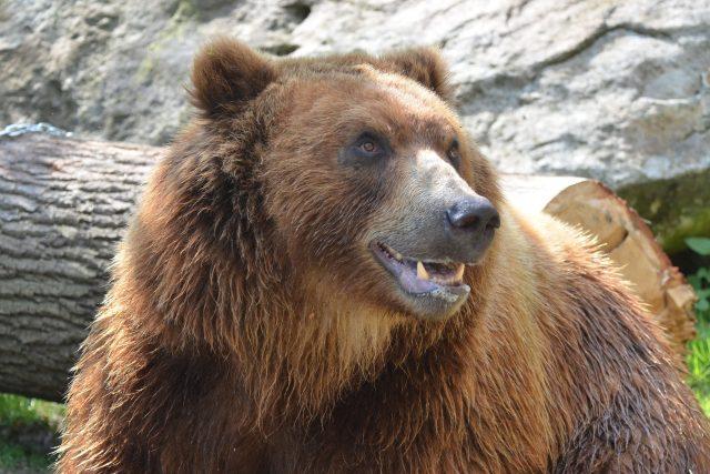 Medvěd kamčatský Bruno ze ZOO v Děčíně