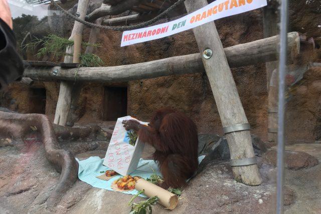 Ústečtí orangutani dostali na oslavě želatinový dort s ovocem
