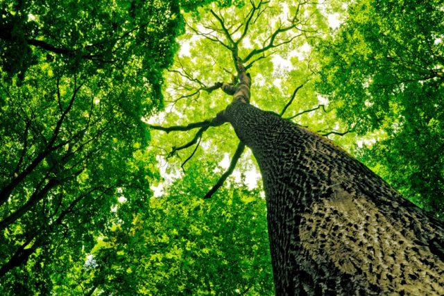 Víte,  kolika let se mohou dožít stromy? | foto: Shutterstock
