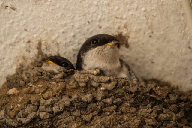 Mláďata jiřiček na hnízdě   foto: Ludmila Korešová