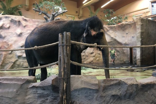 Slonice Delhi v ústecké zoo slaví Mezinárodní den slonů | foto: Gabriela Hauptvogelová,  Český rozhlas