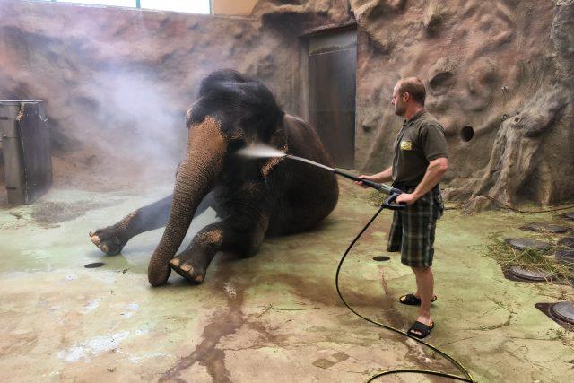 Chovatel Pavel Kökert Delhi, poslední slonici v ústecké zoo, každý den sprchuje