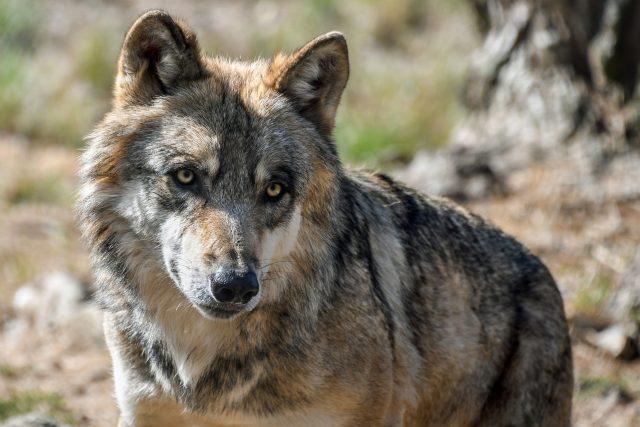 Vlk (ilustrační snímek).